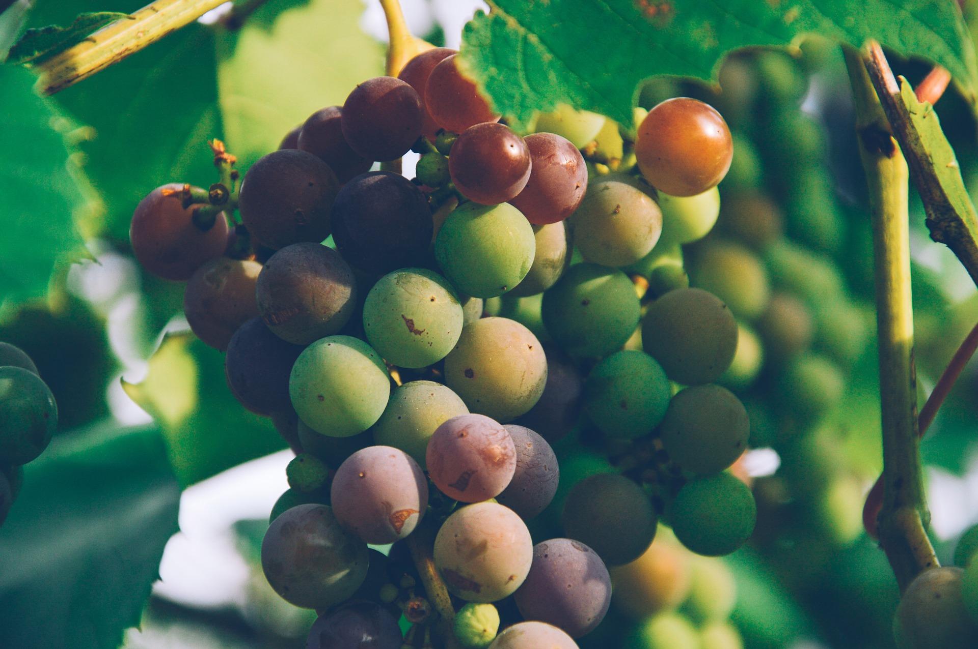 Ich bin… der Weinstock